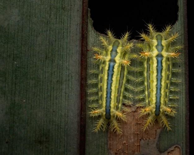 limacodid caterpillars