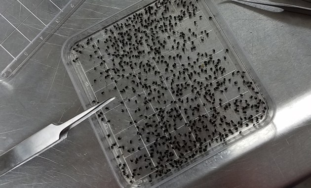 tray with black flies