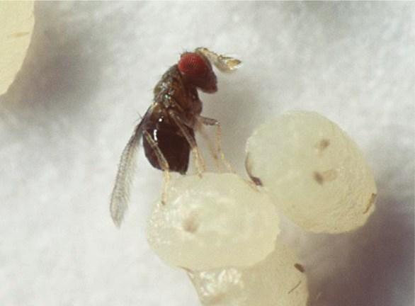 Trichogramma wasp parasitizing host egg