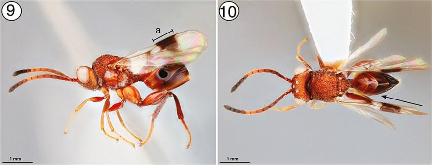 Paramblynotus sp. wasp