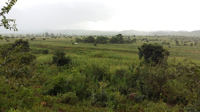maize fields in Mozambique