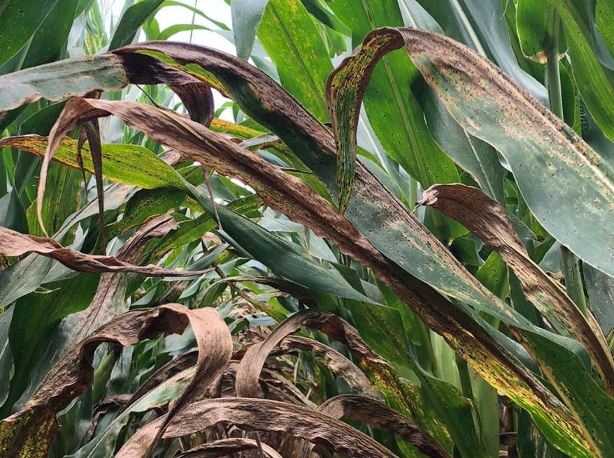 tar spot on corn