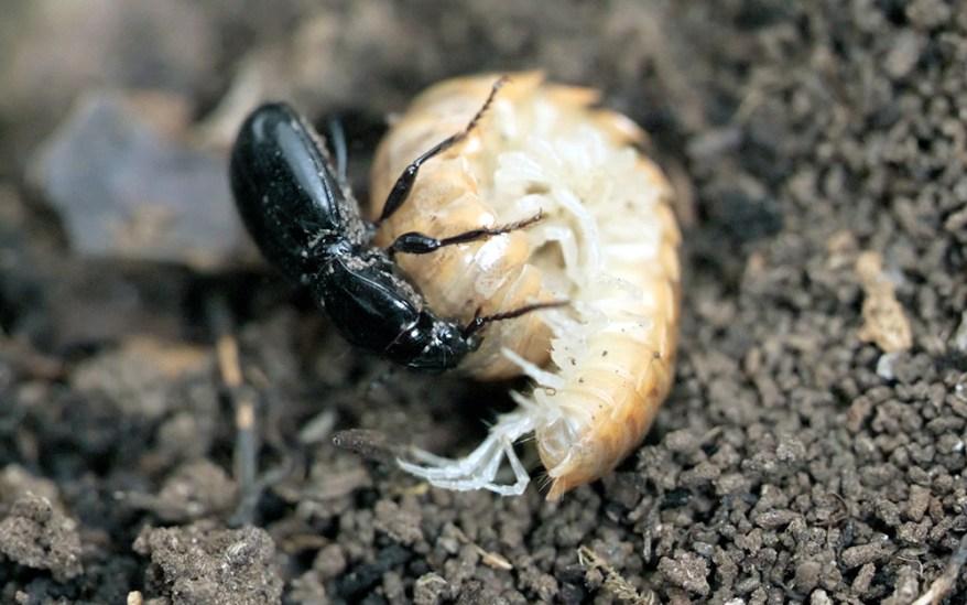 Promecognathus Beetle Millipede Brawl