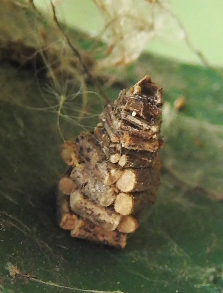 "Bagworm moth caterpillar ""log cabin"""