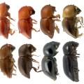Bark Beetle Comparison