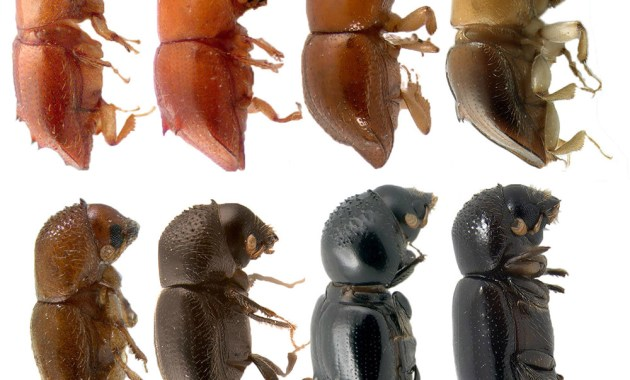 Bark Beetle Comparison