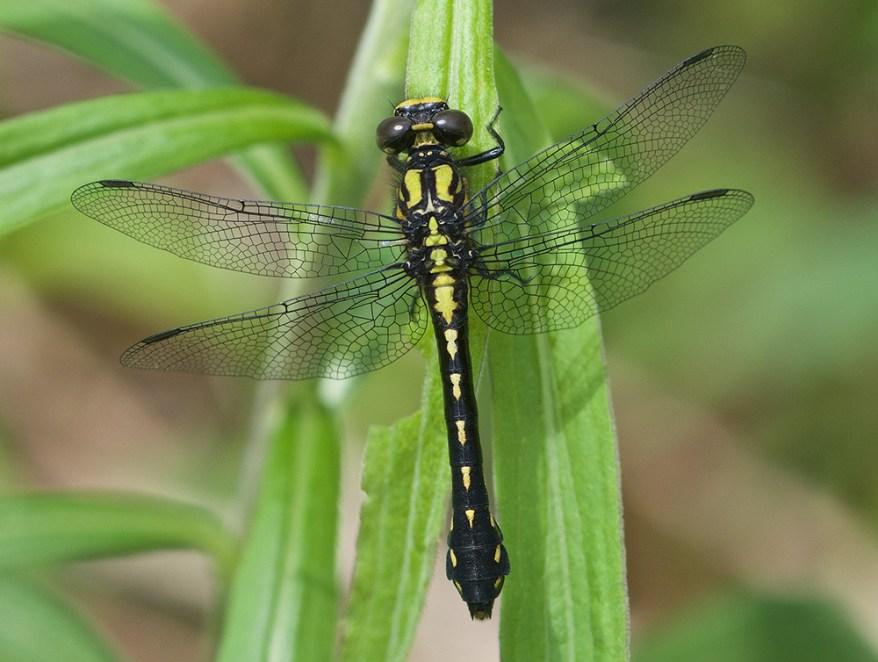 Ophiogomphus howei, female