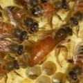 Honey Bees With Queen