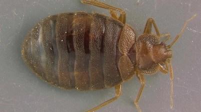 bed bug (Cimex lectularius)