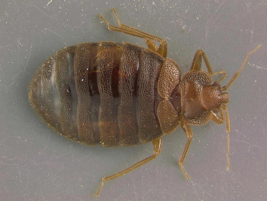 bed bug (Cimex lectularius)