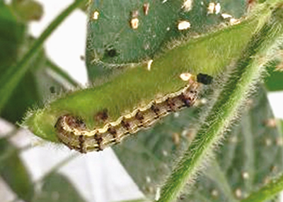 Old World bollworm (Helicoverpa armigera)
