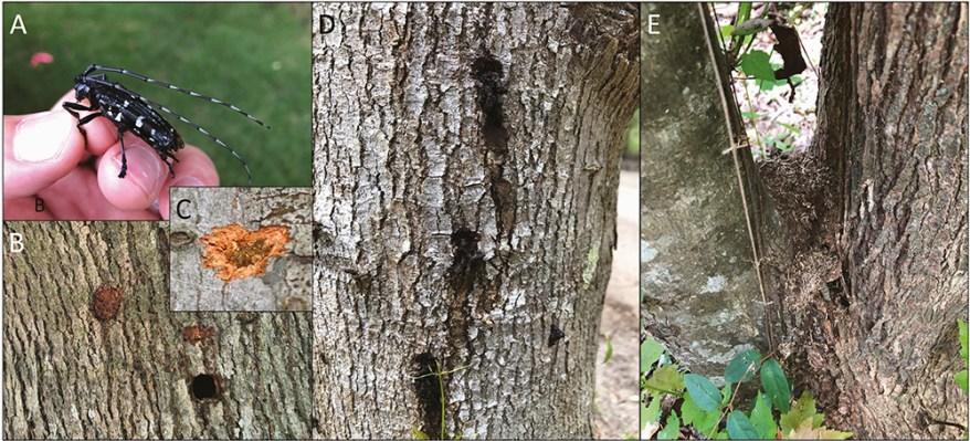 Asian longhorned beetle signs