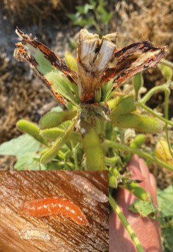 soybean gall midge damage and larvae