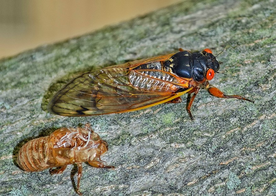 adult cicada and exuvia