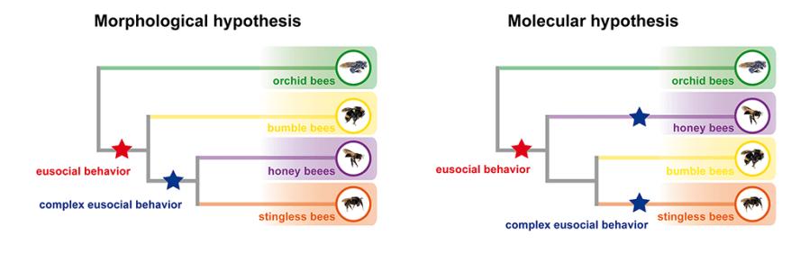 bees' complex eusocial behavior hypotheses