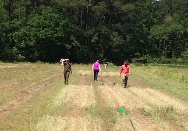 installing an organict tomato field