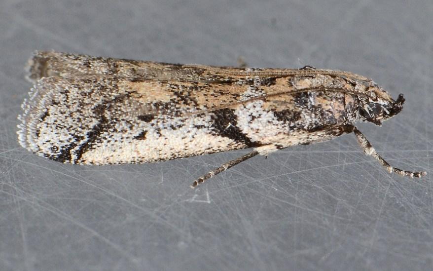 navel orangeworm moth (Amyelois transitella)