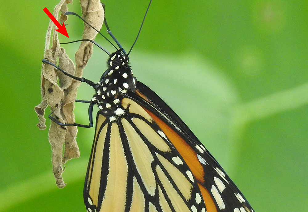 New Citizen-Science Project Explores Little-Known Behavior in Monarch Butterflies