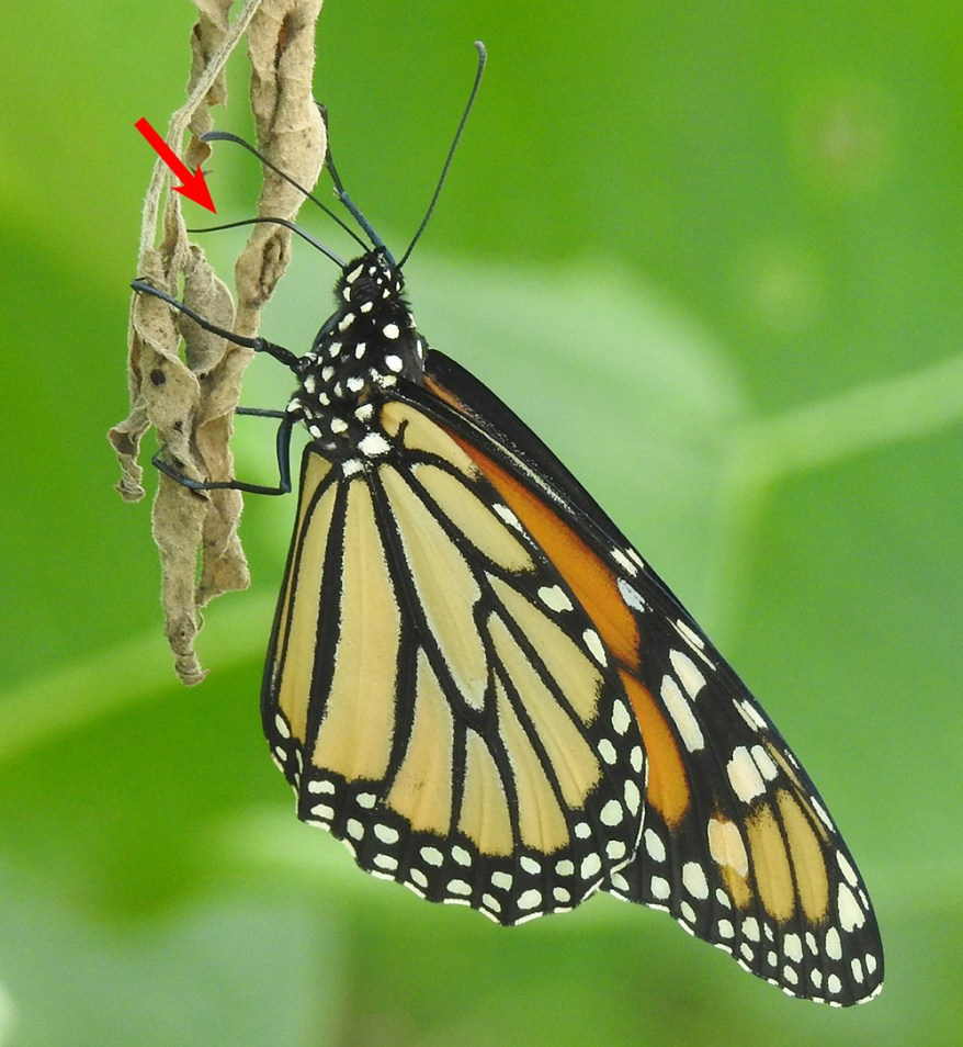 Monarch butterfly at withered boneset leaf