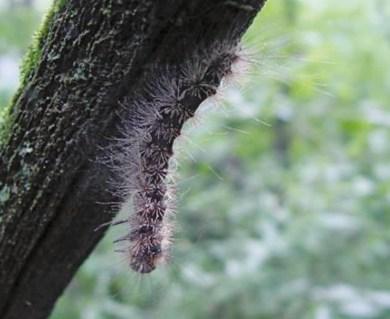 Lymantria dispar larva killed by Entomophaga maimaiga fungus