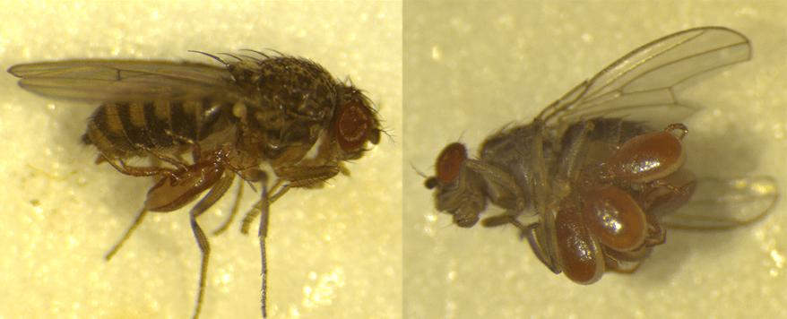 Macrocheles muscaedomesticae mites on Drosophila hydei flies