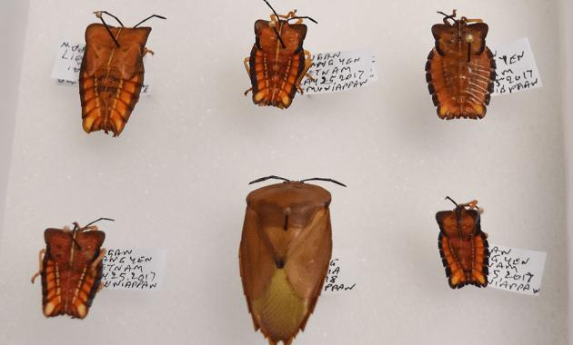 Tessaratoma papillosa specimens