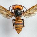 Vespa mandarinia hornet