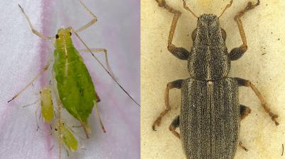 pea aphid and pea leaf weevil