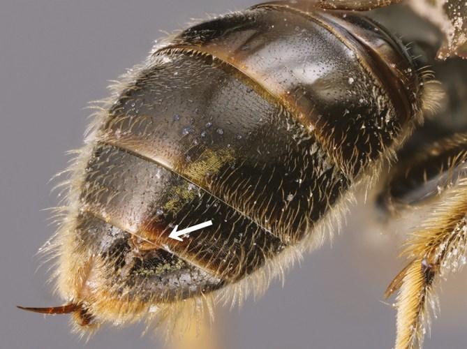 strepsipteran parasite on bee abdomen