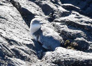 pohatu penguins_3