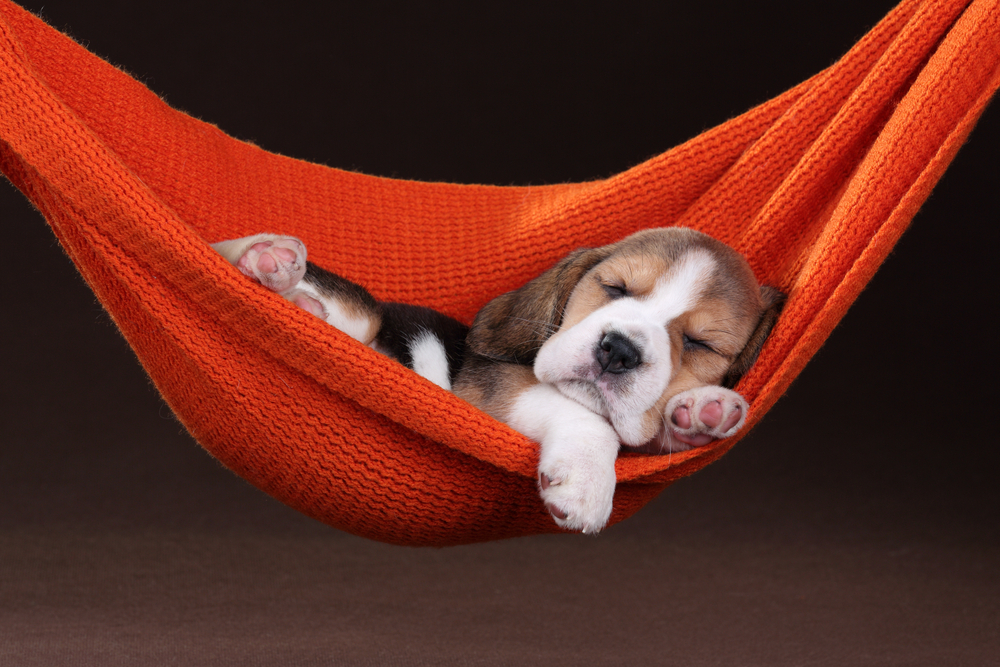 Cute Wallpapers 1080p Beagles 5 Steps To Unleash The Significant Power Of Sleep