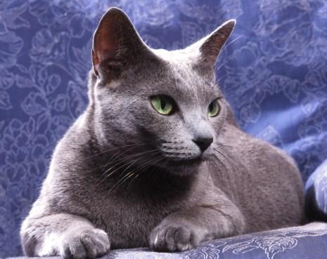 chat de race russe bleu couché de face sur un tissu bleu