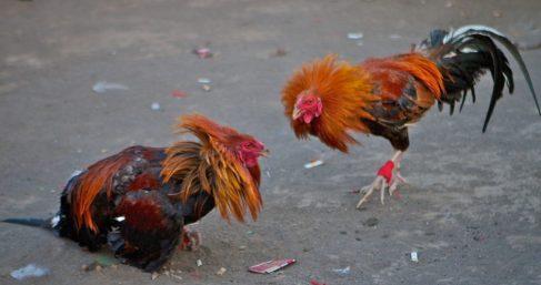 la-guerra-con-los-gallos