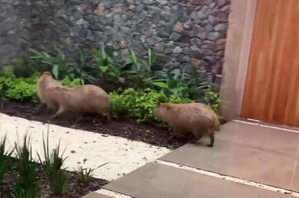 Repentinamente, cinco carpinchos invadieron la casa del cocinero Pedro Lambertini. El video y la reacción de los animales en el lugar.
