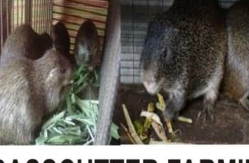 grasscutter farming business