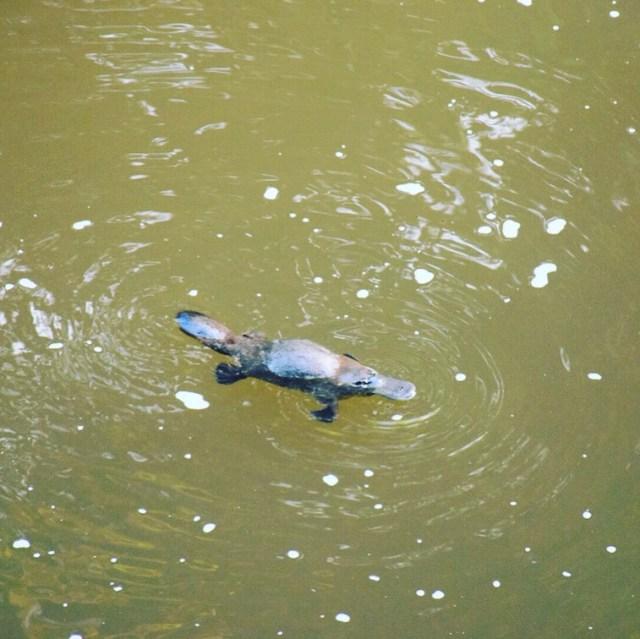 Vi boede på Broken river Bush Camp, som lå lige ned til floden hvor der boede Platypus