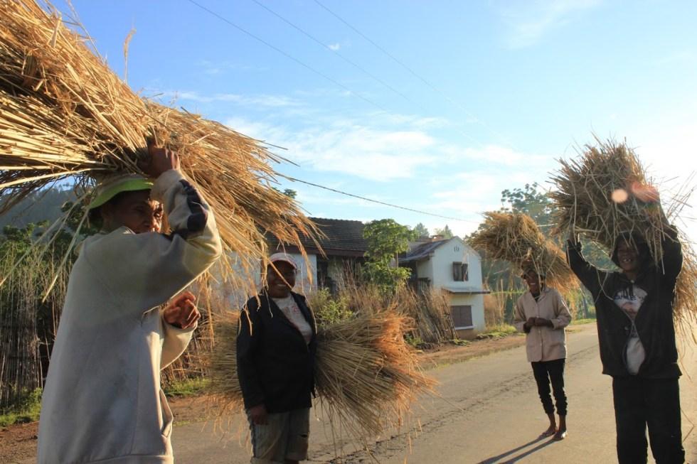 Rice harvest near Betafo, Madagascar