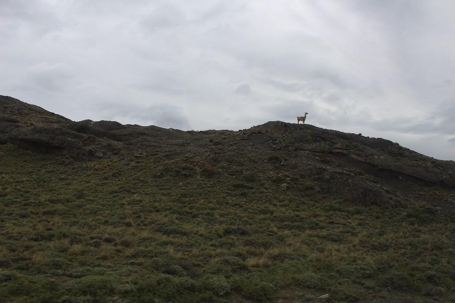 guanaco-torres-del-paine