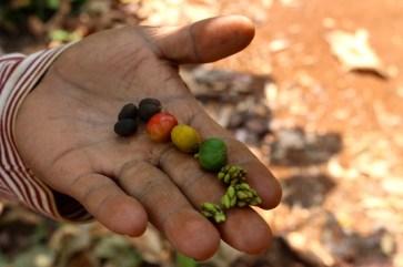 Les différents stades de maturation du café.