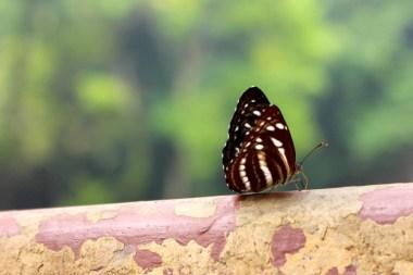 papillon-luang-prabang