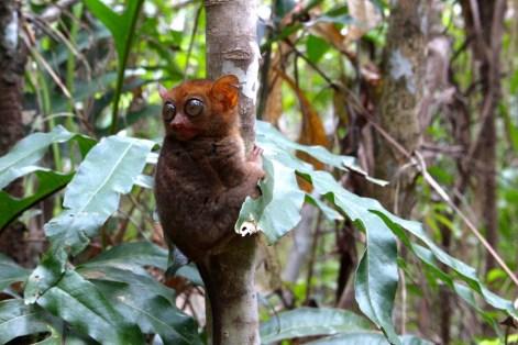 tarsier-bohol-parc