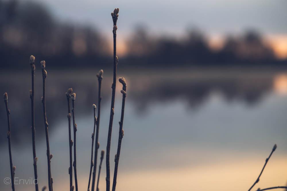 Knoppar på kvistar vid sjön Mjörn, Lerums Kommun.  Foto Johanna Ene 2021.