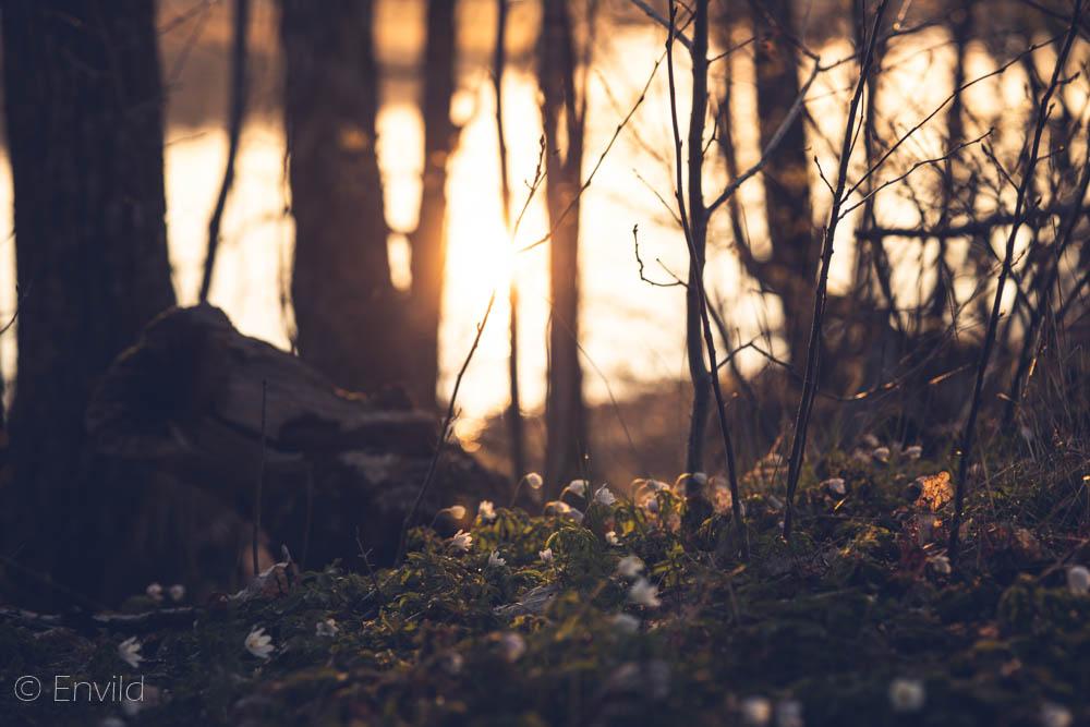 Vitsippor i ljuset från soluppgång. Maj månad vid sjön Mjörn, Lerums Kommun. Foto Johanna Ene 2021.