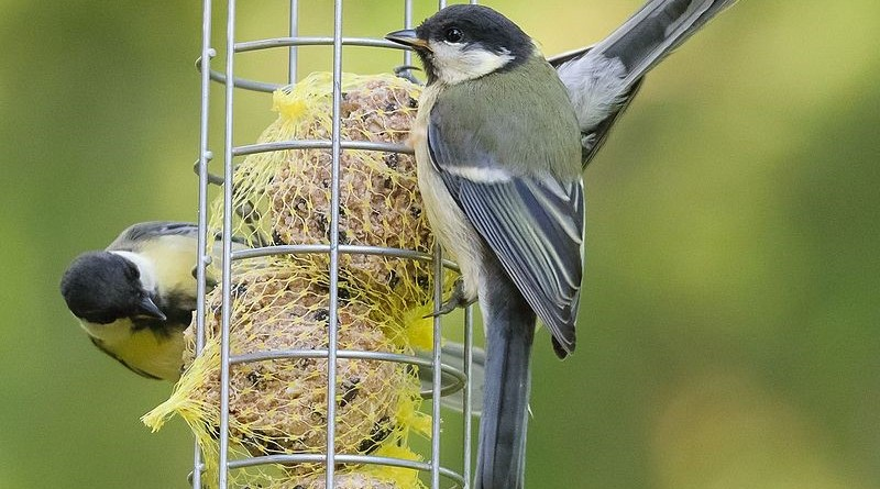 Birds evolve bigger beaks thanks to backyard feeders