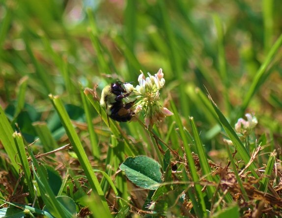 Can mowing less promote a suburban bee utopia?