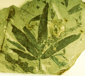 fossilized Caytionales plant leaves