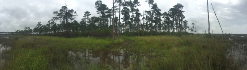 Panorama of a maritime forest of pine trees growing next to a flooded marsh.