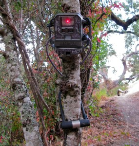 A camera trap tied to a tree. The camera is a small brown box with a red light and it is well camouflaged against the tree