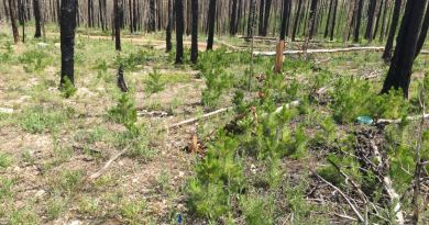 Two plots in a burned pine forest; the plot on the left did not receive mulch and has few pine seedlings, and the plot on the right that did receive mulch has more, taller pine seedlings