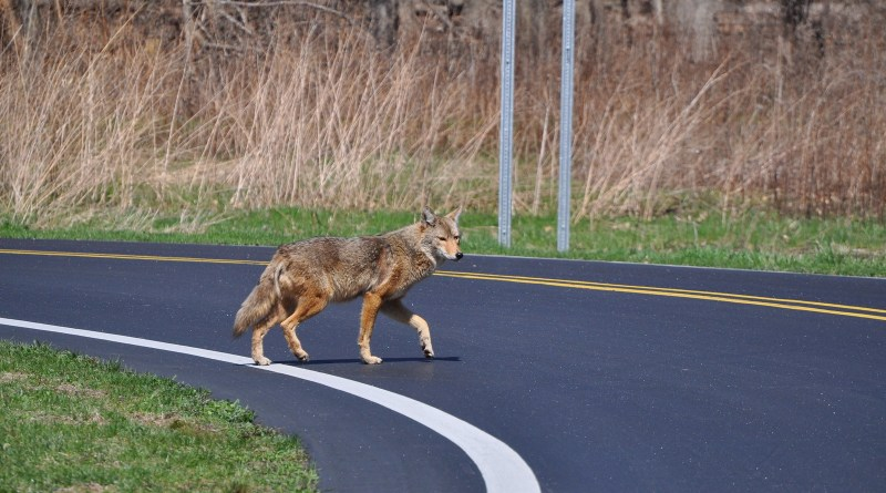 Coyote crossroads: LA coyotes differ genetically from nearby forest coyotes